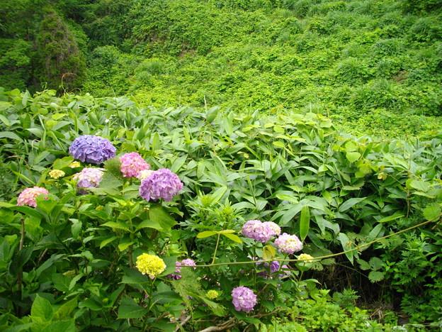 宮島緑の村~紫陽花と笹