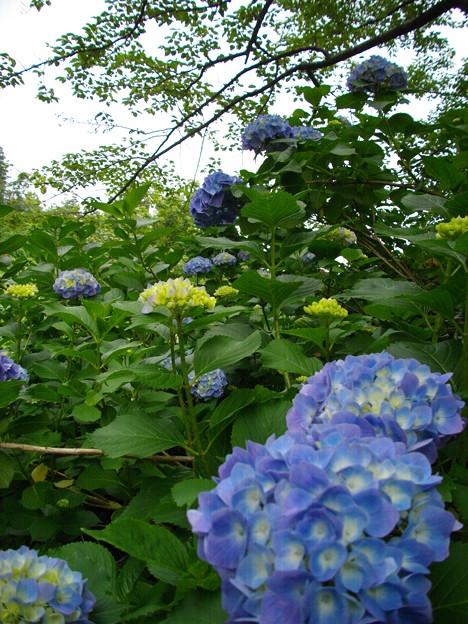 宮島緑の村~青紫陽花