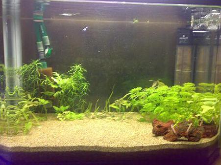 綺麗になったアヌビアス・ナナは、新しい水槽に