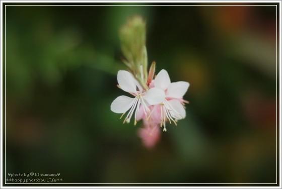Photos: 白鳥草