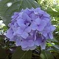ハオルチア「青玉扇」