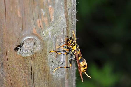 スズメバチ科 キアシナガバチ