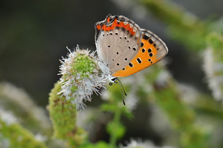 シジミチョウ科 ベニシジミ