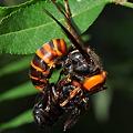 写真: スズメバチ科 オオスズメバチ