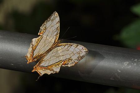 タテハチョウ科 イシガケチョウ
