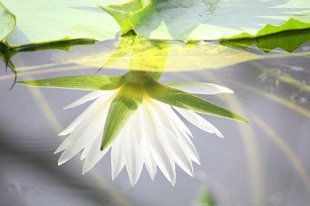 水に映る睡蓮 2
