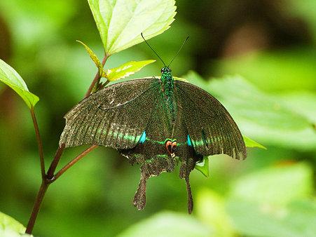 美しい蝶 IMGP122507_R