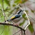 Photos: アカバネモズチメドリ♂(White-browed Shrike-babbler) IMGP123892_R2
