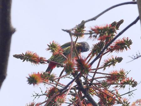 オオゴシキドリ(Great Barbet) P1240565_R2