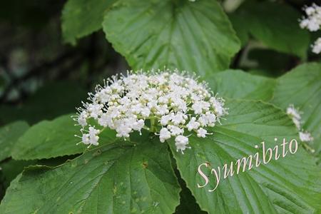 2012.6.10ガマズミの花