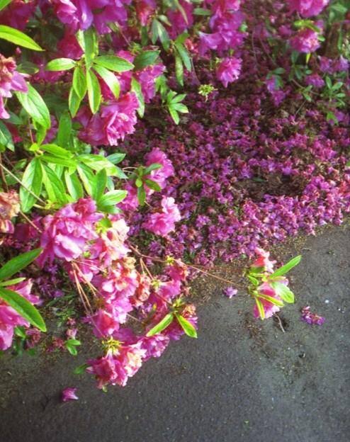 散った花とまだ咲いている花