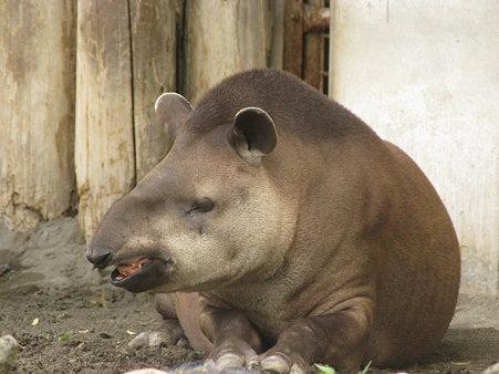 ブラジルバク@上野動物園