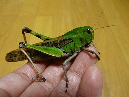 トノサマバッタ(3) 〜 変貌・・大切な幼虫時代
