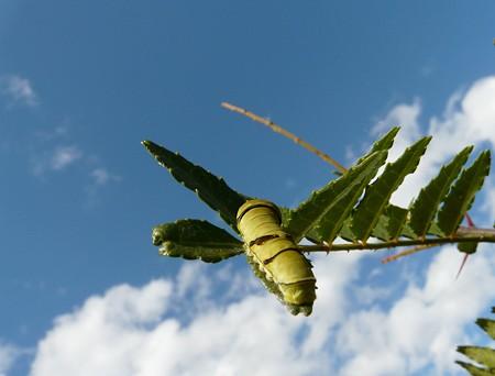 アゲハ終齢幼虫〜空も飛べるはず・・・