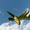 写真: 空も飛べるはず・・(アゲハ終齢幼虫)