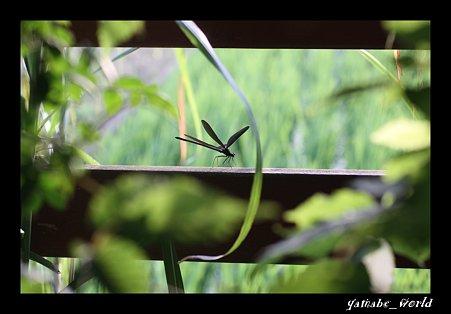 庭のハグロトンボ