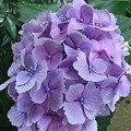 家の紫陽花