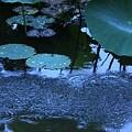 写真: 蓮の葉と雨  妙蓮池