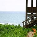 写真: オニユリと日本海