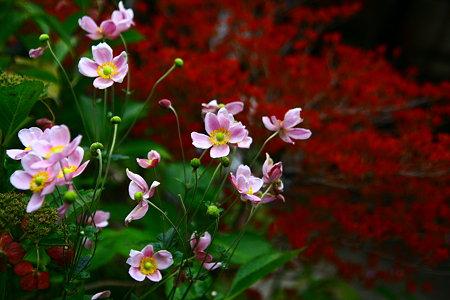 秋明菊とドウダンツツジの秋