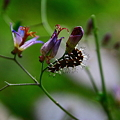 写真: w(゚o゚)w  ルリタテハ(蝶)の幼虫でした (#^.^#)