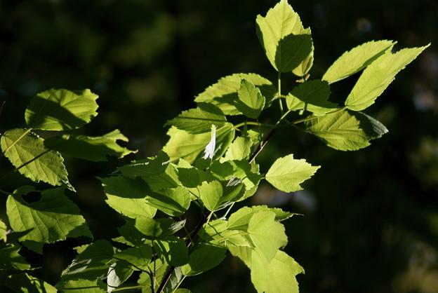 花の木(ハナノキ)