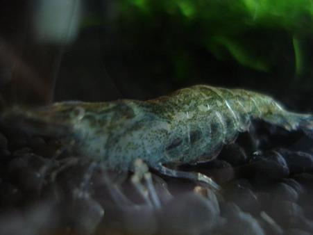 20090612 41cm水槽のヌマエビ