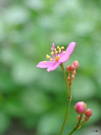 ハゼラン(Talinum triangulare (Jacq.) Willd.)