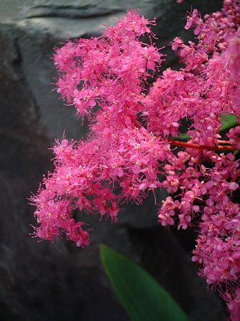 キョウガノコ(Filipendula x purpurea Maxim.)