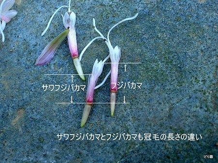 サワフジバカマ(Eupatorium x arakianum Murata et H.Koyama)