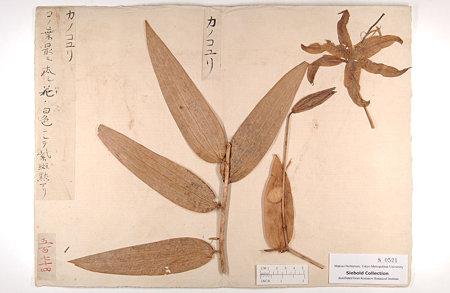 カノコユリ(Lilium speciosum Thunb.)