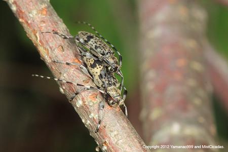 ニセゴマダラモモブトカミキリ