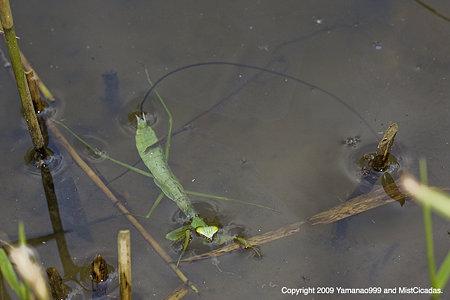 ハリガネムシに寄生されたオオカマキリの幼虫