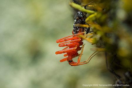 ヨコヅナサシガメ(幼虫)