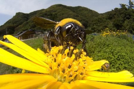 クマバチの画像 p1_4