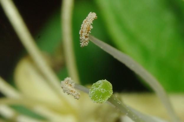 写真: 金銀花の雌蕊と雄蕊(隣の写真の等倍トリミング)