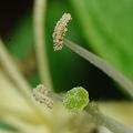 Photos: 金銀花の雌蕊と雄蕊(隣の写真の等倍トリミング)