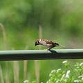 写真: 秋吉台下のスズメのボクチン