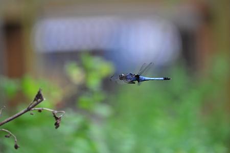 シオカラトンボが飛んでいる