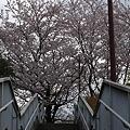 日野公園墓地の桜 その1