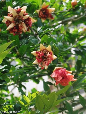 石榴の花2012年06月04日_P6040301