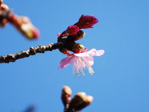 写真: ほころびはじめた寒緋桜8