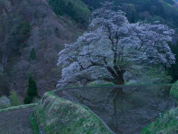 「駒つなぎの桜」…19時前の薄暮