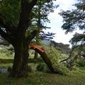 折れた桜の樹a