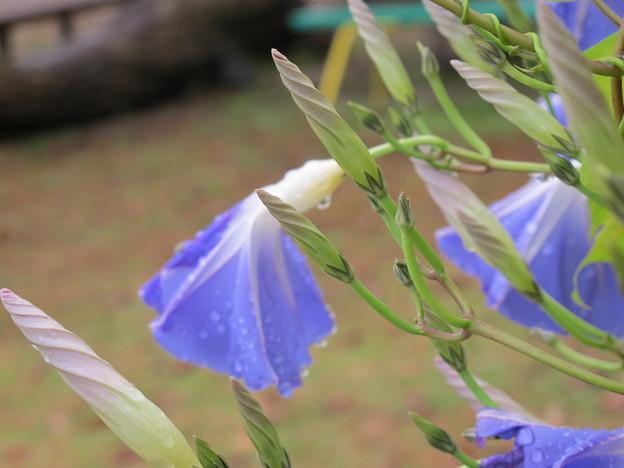 Photos: ヘブンリーブルーの花2