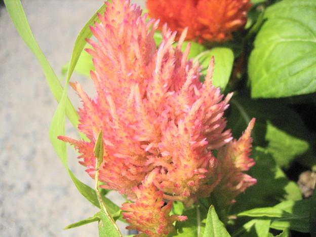 羽毛ケイトウの花3