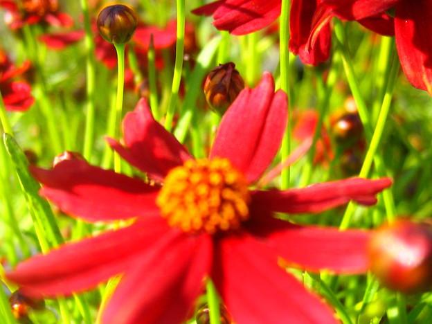 コレオプシスの花4