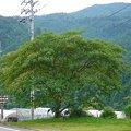 Photos: 合歓の大樹