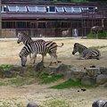 Photos: 動物園のシマウマ