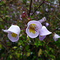 写真: Jovellana sinclairii or violacia(ゴマノハグサ科)